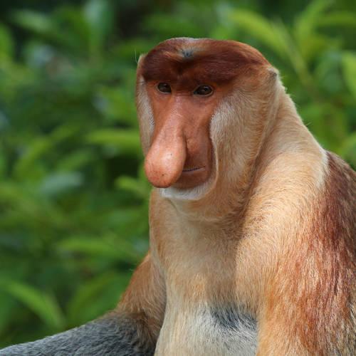 ทัวร์บรูไน บรูไน ลิงโพรบอสซิส (ลิงจมูกยาว)