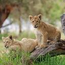 ทัวร์แอฟริกาใต้ แอฟริกาใต้ สวนเสือ The Lion Park