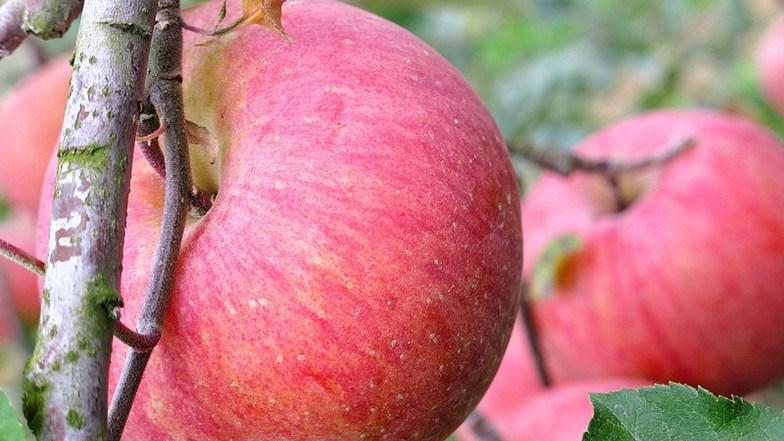 ฟาร์มแอปเปิ้ลเกาหลี