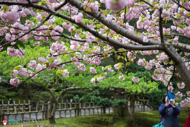 cherry bossom japan