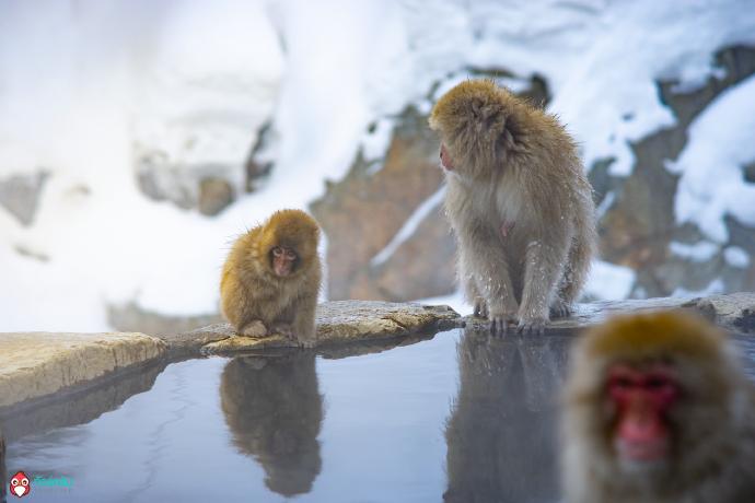 Japan snow monkey onsen hot spring