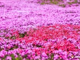 ทัวร์ญี่ปุ่น โตเกียว 5 วัน 3 คืน เทศกาลชมทุ่งดอกพิงค์มอส ' ดอกชิบะซากุระ บิน XJ โตเกียว เที่ยววันหยุด ฉัตรมงคล