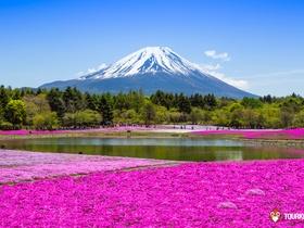 ทัวร์ญี่ปุ่น  โตเกียว โอซาก้า  6 วัน 4 คืน  ภูเขาไฟฟูจิ ทุ่งดอกพิ้งมอส บิน TG โตเกียว โอซาก้า แพ็คเกจทัวร์ลดราคา  ทัวร์วันแรงงาน ทัวร์ญี่ปุ่น ราคาถูก ทัวร์ Premium ทัวร์ราคาสุดคุ้ม