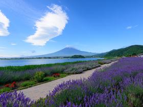 ทัวร์ญี่ปุ่น โตเกียว  5 วัน 3 คืน  ภูเขาไฟฟูจิ ชมทุ่งดอกลาเวนเดอร์ *** (ขึ้นอยู่กับสภาพอากาศ)  บิน XJ โตเกียว เทศกาลลาเวนเดอร์ วันอาสาฬหบูชา / วันเข้าพรรษา