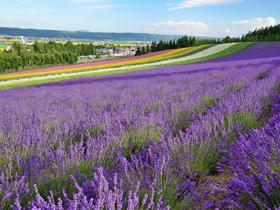 ทัวร์ญี่ปุ่น ฮอกไกโด 6 วัน 3 คืน ฟาร์มโทมิตะ ทุ่งดอกดอกไม้หลากสี บิน JL ฮอกไกโด วันหยุดเทศกาล เฉลิมพระชนมพรรษารัฐกาลที่ 10 วันอาสาฬหบูชา / วันเข้าพรรษา ทัวร์ฮอกไกโด
