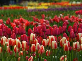 ทัวร์ยุโรปเยอรมณี เนเธอร์แลนด์ เบลเยี่ยม ฝรั่งเศล 8 วัน 5 คืน เข้าชมสวนเคอเคนออฟ  บิน TG  เยอรมัน เนเธอร์แลนด์ เบลเยี่ยม ฝรั่งเศส