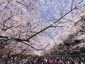 ทัวร์ญี่ปุ่น โตเกียว  5 วัน 3 คืน สวนดอกไม้ฮานะโนะมิยาโกะ  ชมซากุระสวนอุเอโนะ  บิน XJ โตเกียว