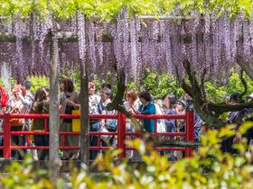 ทัวร์ญี่ปุ่น โตเกียว 5 วัน 3 คืน  เทศกาลชมดอกไม้ดอกวิสทีเรีย  ทุ่งดอกพิงค์มอส บิน XJ โตเกียว