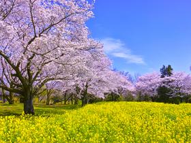 ทัวร์ญี่ปุ่น โตเกียว 5 วัน 3 คืน ภูเขาไฟฟูจิชั้น5 ชมดอกซากุระ และทุ่งดอกเรปซีด บิน XJ โตเกียว