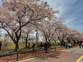ทัวร์เกาหลี กรุงโซล 5 วัน 3 คืน ซากุระ ณ ถนนยออีโด  ชมดอกทิวลิป ณ สวนสนุกเอเวอร์แลนด์  บิน XJ กรุงโซล