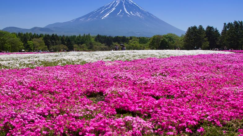 ทัวร์ญี่ปุ่น โตเกียว 5 วัน 3 คืน ภูเขาไฟฟูจิ(ชั้น5)  ดอกไม้ตามฤดูกาล(พิ้งมอสหรือลาเวนเดอร์) เฉพาะช่วงดอกไม้บานเท่านั้น บิน ไทยแอร์เอเชียเอกซ์